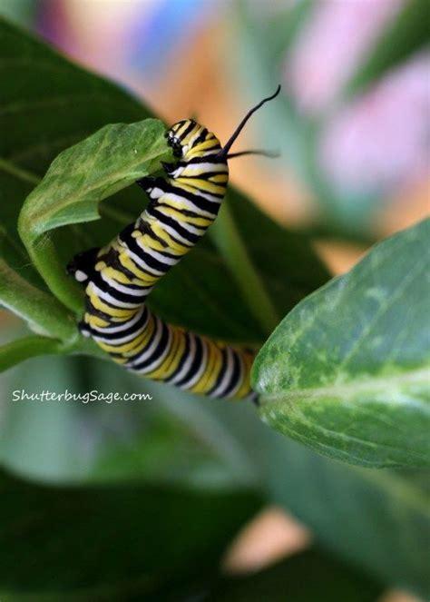 Butterfly Tunik Mo T1310 3 hungry caterpillar powell garden s festival of butterflies kansas city mo 365