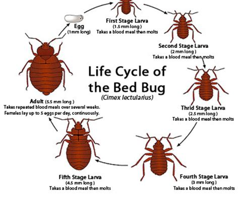 bed bug cycle bed bug bites signs symptoms and treatment