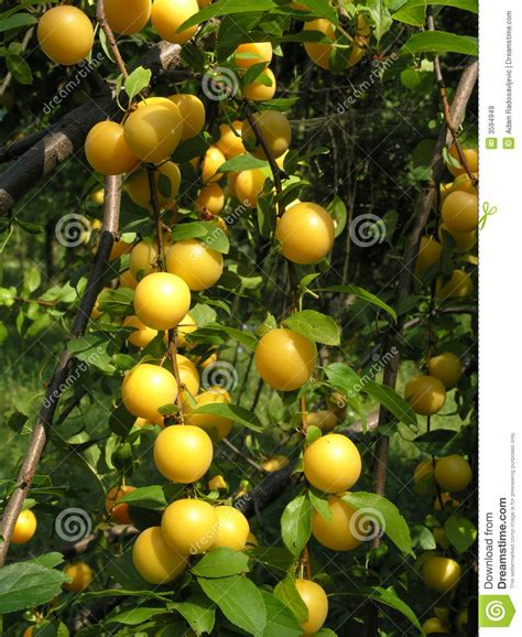tree ripened fruit ripe fruit on tree branches royalty free stock images
