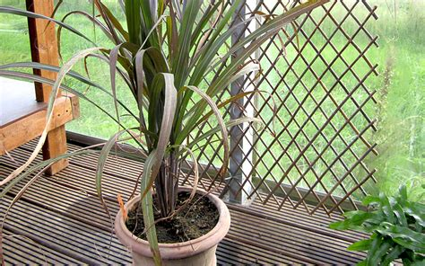 fensterbrett kaufen zuckerrohr rotbl 228 ttrig pflanze saccharum officinalis