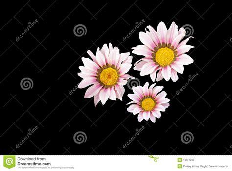 whitish pink whitish pink hibiscus flower hibiscus rosa sinensis