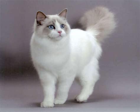 ragdoll que significa ragdoll ra 231 as felinas ra 231 as de gatos guia completo