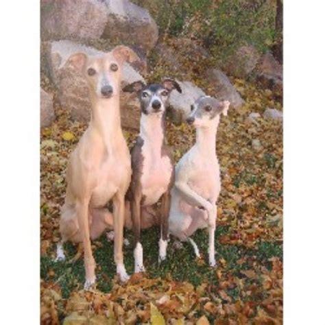 free puppies in utah italian greyhound breeders in utah freedoglistings