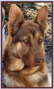liver colored german shepherd liver ofa german shepherds for sale