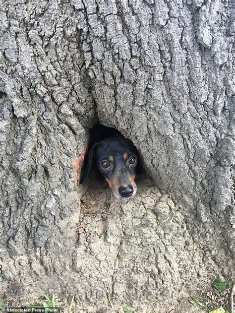 when the dogs bark treed a year on the trail of the longtails classic reprint books dachshund is rescued after being stuck inside a tree trunk