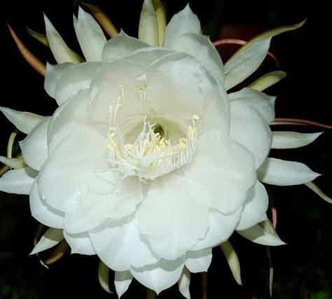 komunitas bunga manfaat bunga wijaya kusuma