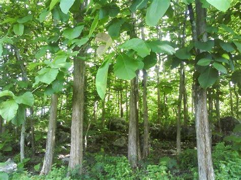 Pohon Bodhi Kecil Sedang Besar gambaran umum pohon jati