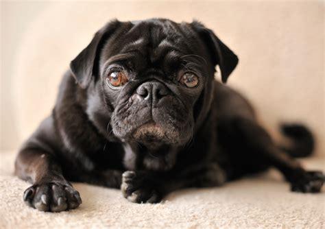 hge in dogs diarrhea treatment causes hemorrhagic gastroenteritis texvetpets