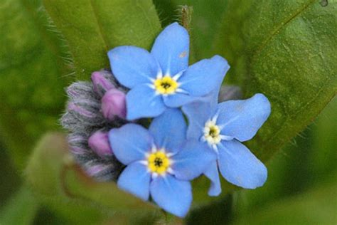 nontiscordardime fiore nontiscordardime myosotis
