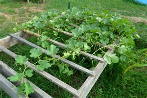 growing cantaloupe on a trellis apparently i ve been domesticated august 2011