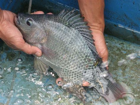 Bibit Ikan Koi Ponorogo cara mudah pembudidayaan ikan nila kabartani