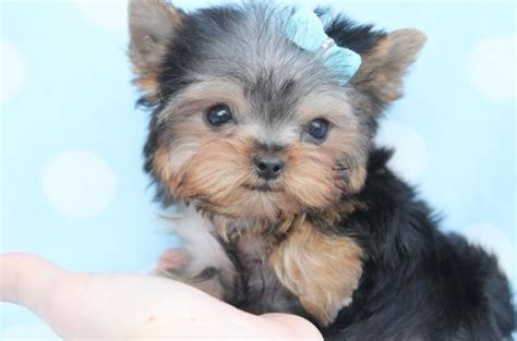 how to breed teacup yorkies top 6 of the most popular teacup puppies breed today 187 teacupdogdaily