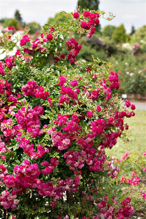 super excelsa саженцы роз super excelsa roses