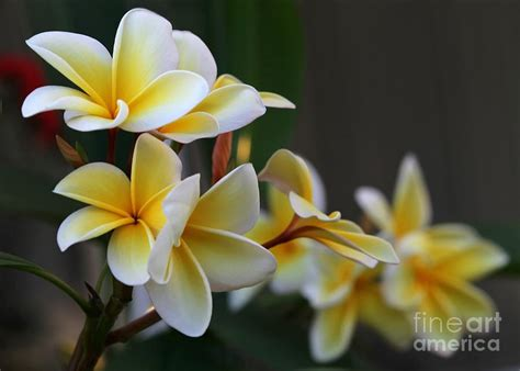 plumeria photos yellow plumeria flowers photograph by sabrina l ryan