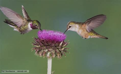 bbc nature hummingbirds videos news and facts