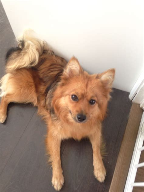 pomeranian cross for sale pomeranian cross 8months winsford cheshire pets4homes