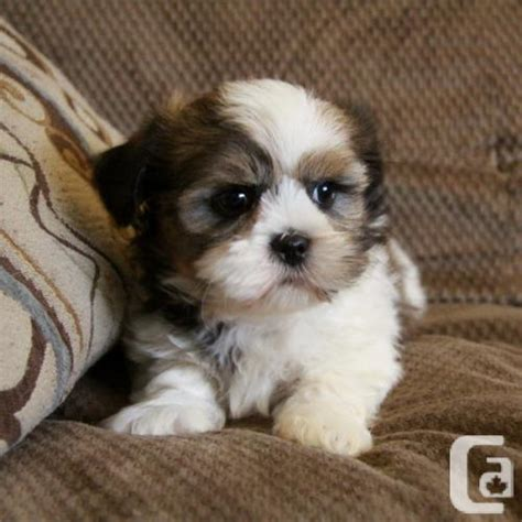 shih tzu puppies for sale ontario shih tzu puppies males available for sale in hamilton ontario classifieds