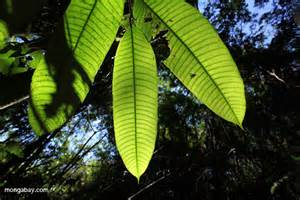 Canopy Leaves by Rainforest Canopy Leaves