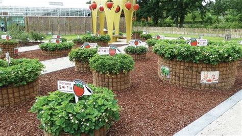 strawberry bed ideas raised hay bale strawberry beds vegetable garden ideas