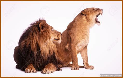 imagenes de leones salvajes fotos de leones salvajes mi web auto design tech