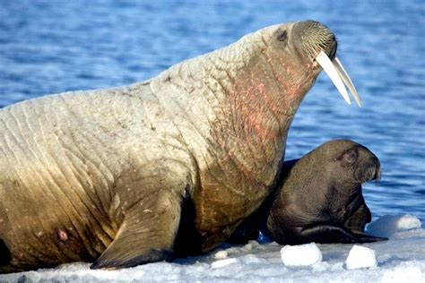 walrus breed walrus images search