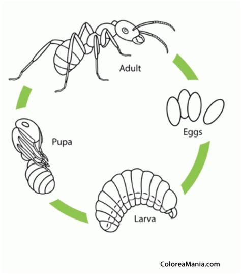 imagenes de la vida de las hormigas colorear hormiga ciclo de vida insectos dibujo para