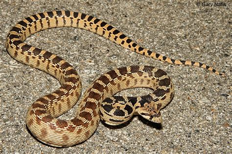 Idaho House by Great Basin Gophersnake Pituophis Catenifer Deserticola
