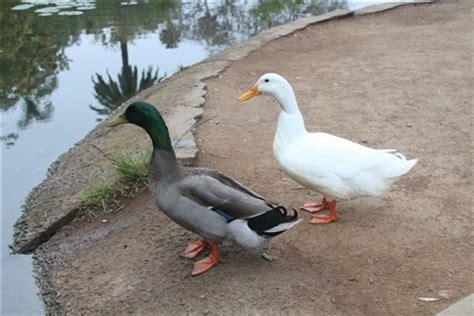 male and female ducks: rj 07: galleries: digital