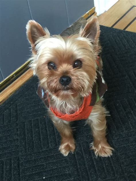 puppy haircuts for yorkie maltese mix 17 best images about shorkies shih tzus and yorkies on