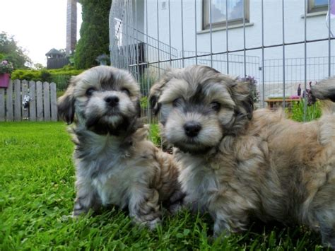 havanese dogs for sale in iowa pomsky puppies for sale in iowa for sale united states 5