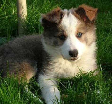 border collie puppies for sale in ga best 25 collie puppies for sale ideas on