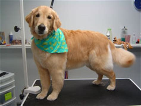 golden retriever puppies barrie golden retriever summer haircut summer hair cut for golden retriever