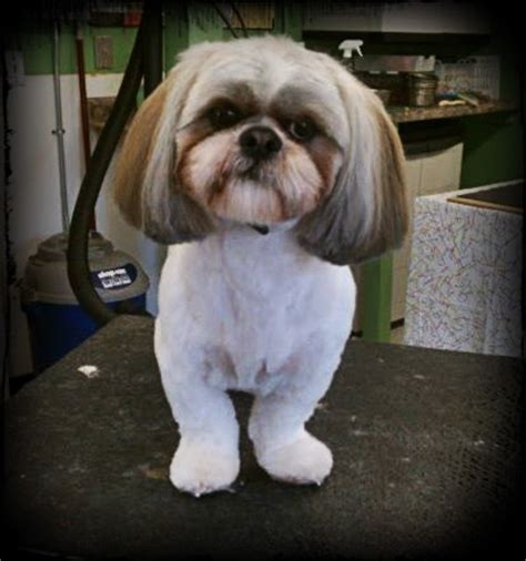 best shoo for a shih tzu ha this looks just like bandit with his new haircut bandit pearl