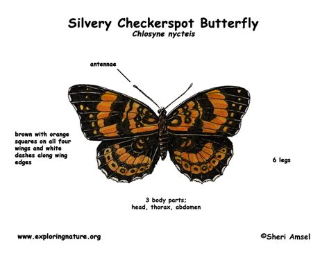 diagram of a butterfly butterfly silvery checkerspot
