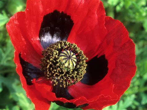 how to plant a poppy container garden hgtv