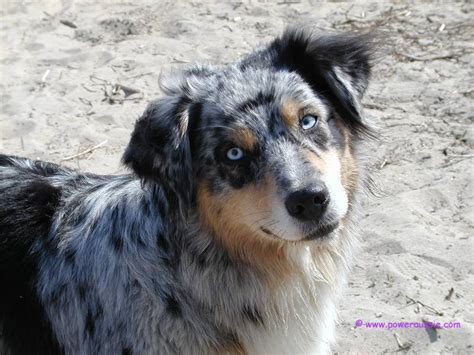 blue merle blue merle mix related keywords blue merle mix keywords keywordsking