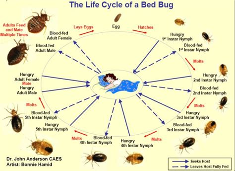 bed bug reproduction rate bedbug life cycle guide and pictures