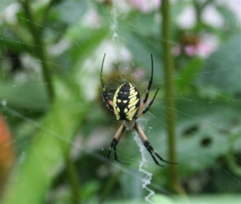 Garden Orb Spider Bite Season Of Spiders On The Farm Earthy Events Moo