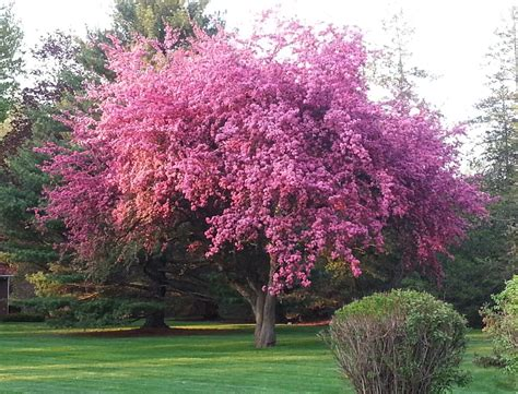 cherry tree pictures kwanzan cherry tree