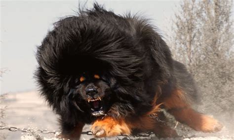 most vicious dogs world s top 10 most dangerous breeds