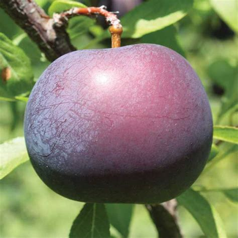hybrid fruit tree black hybrid plum rh shumway