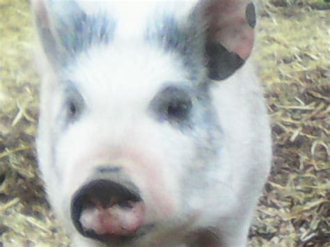 micro pigs for sale uk micro pigs for sale warrington cheshire pets4homes