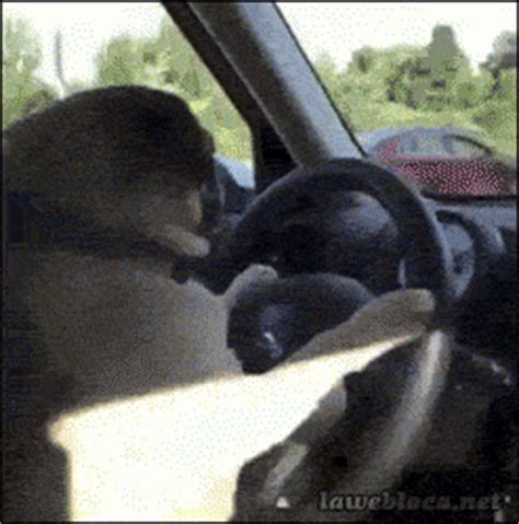 pug driving car dailypicdump pictures and comics gifs
