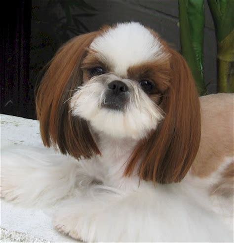 shih tzu pros and cons breeds pros and cons of owning a breed picture breeds picture