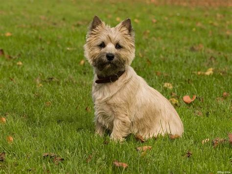 hair cuts for cairns terriers cairn terrier dog hairstyles cairn terrier achtergrond met