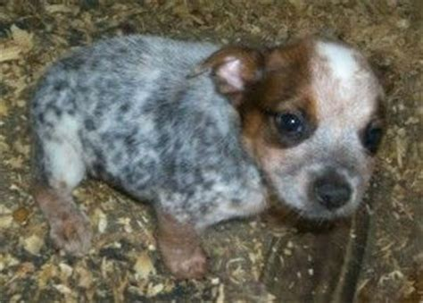 dogs for sale in oregon blue heeler puppies for sale in louisiana baby animals oregon