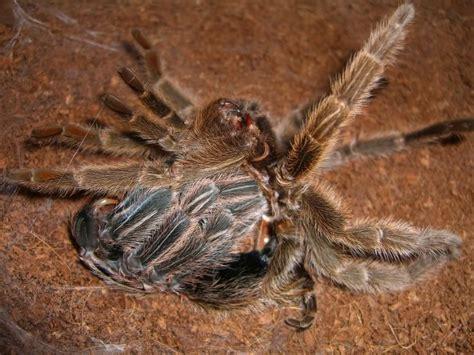 spiderling curly hair spiderlings tarantula care sheet curly hair tarantula sling care best curly hair 2017