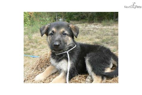grey german shepherd puppies grey german shepherd puppies