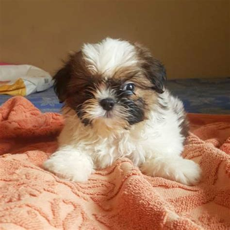 shih tzu puppies for sale in evansville in dogs for sale in mumbai breed dogs spinningpetsyarn