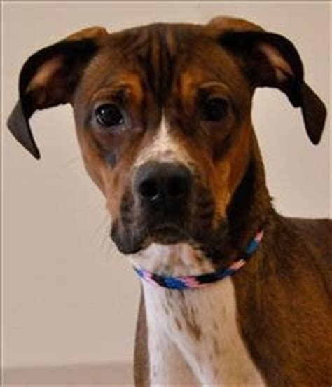 franklin county shelter adoption center columbus oh boston ma redbone coonhound whippet mix meet a for adoption http